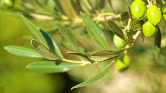 Olive Leaf Extract: A Natural Anti-viral to Stock Up On
